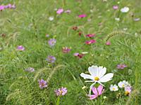 40万本のコスモスが咲き乱れる