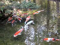 30匹の鯉が泳ぐ
