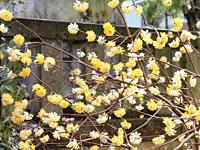コウゾの花