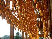 秋の風物詩「つるし柿」