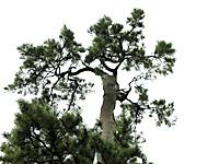 Ushiwaka pine