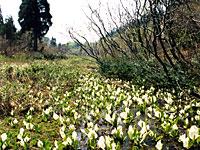 4月下旬~5月上旬が見ごろ(平成27年以前の写真)